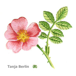 Wild Rose Needle Painting