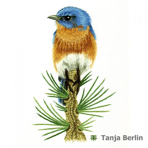 Blue Bird on Pine Branch